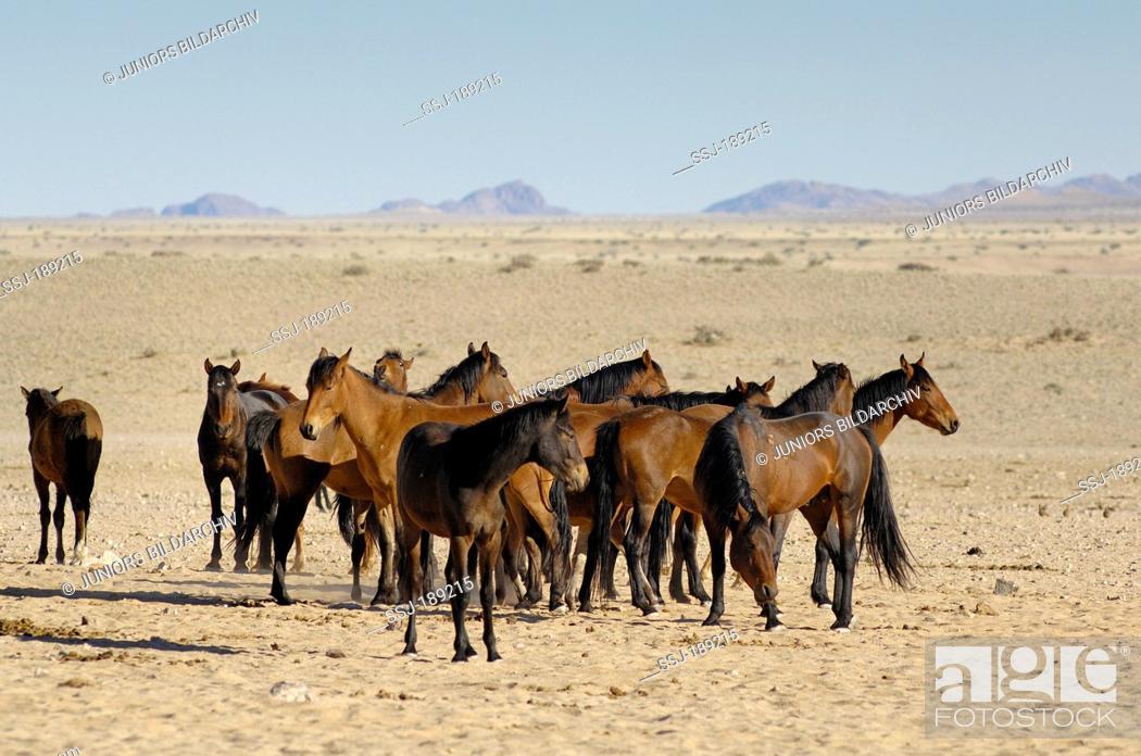 Stock Photo: Namib Desert Horse (Equus ferus caballus). Herd in Garub Pan, Namib Desert, Naukluft National Park, Namibia.