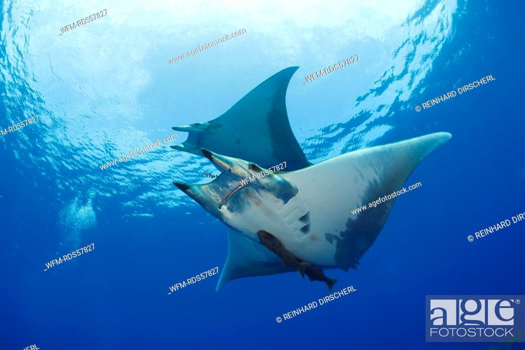 Stock Photo: Sicklefin Mobula, Mobula tarapacana, Azores, Princess Alice Bank, Atlantic Ocean, Portugal.