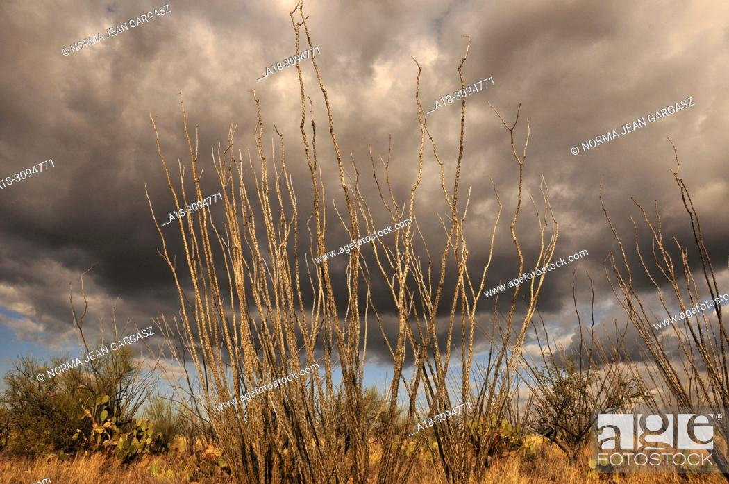 Stock Photo: Ocotillo grow in the grasslands in the foothills of the Santa Rita Mountains in the Sonoran Desert, Green Valley, Arizona, USA.