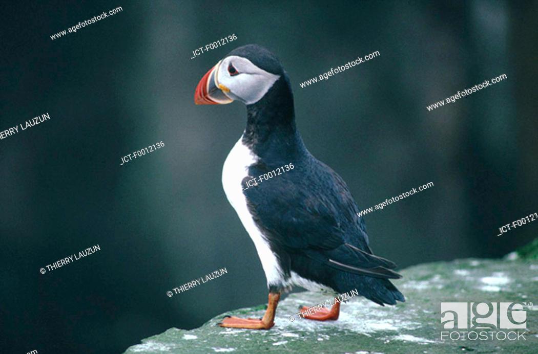 Stock Photo: Denmark, Faroe Islands, Mikines, puffin.