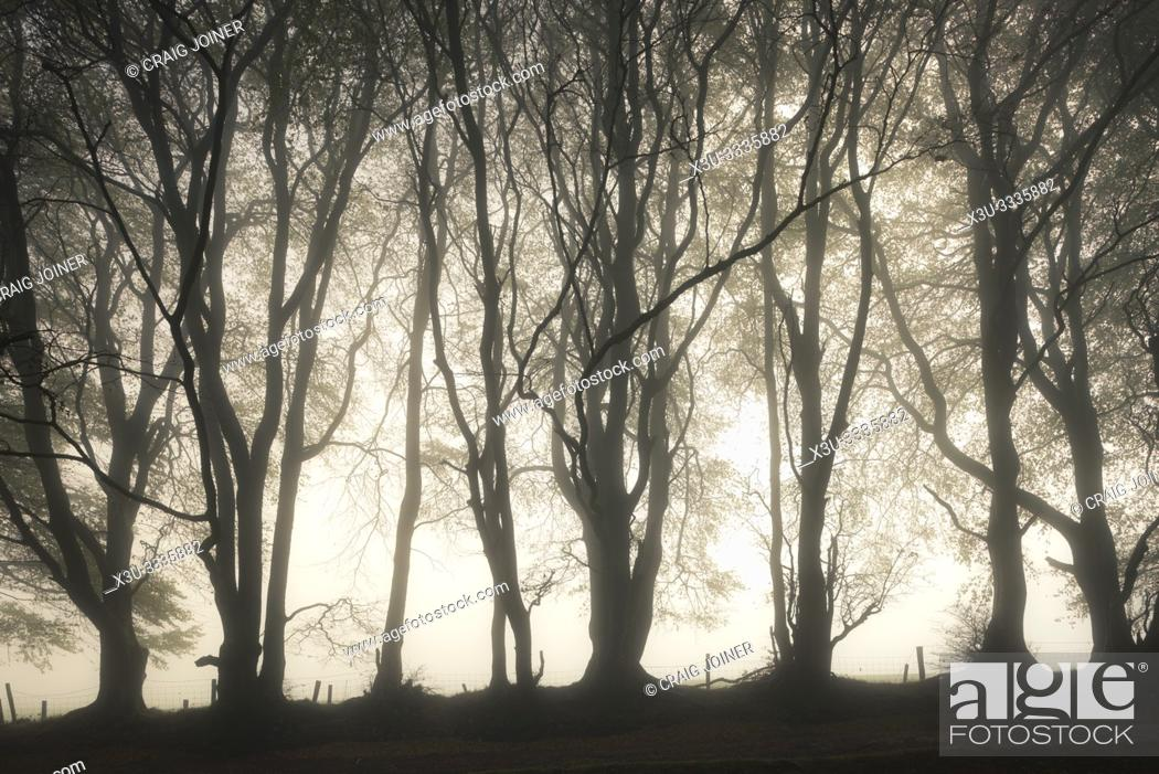 Stock Photo: Trees in a misty autumn morning at Drove Road in the Quantock Hills near Crowcombe, Somerset, England.