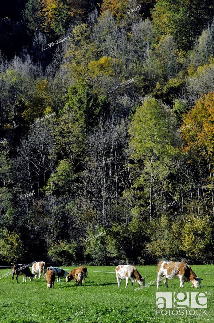 Stock Photo: Kuehe stehen auf der Weide - 22/10/2005.