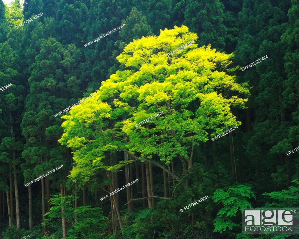 Stock Photo: Trees in the Forest, Low Angle View, Pan Focus.