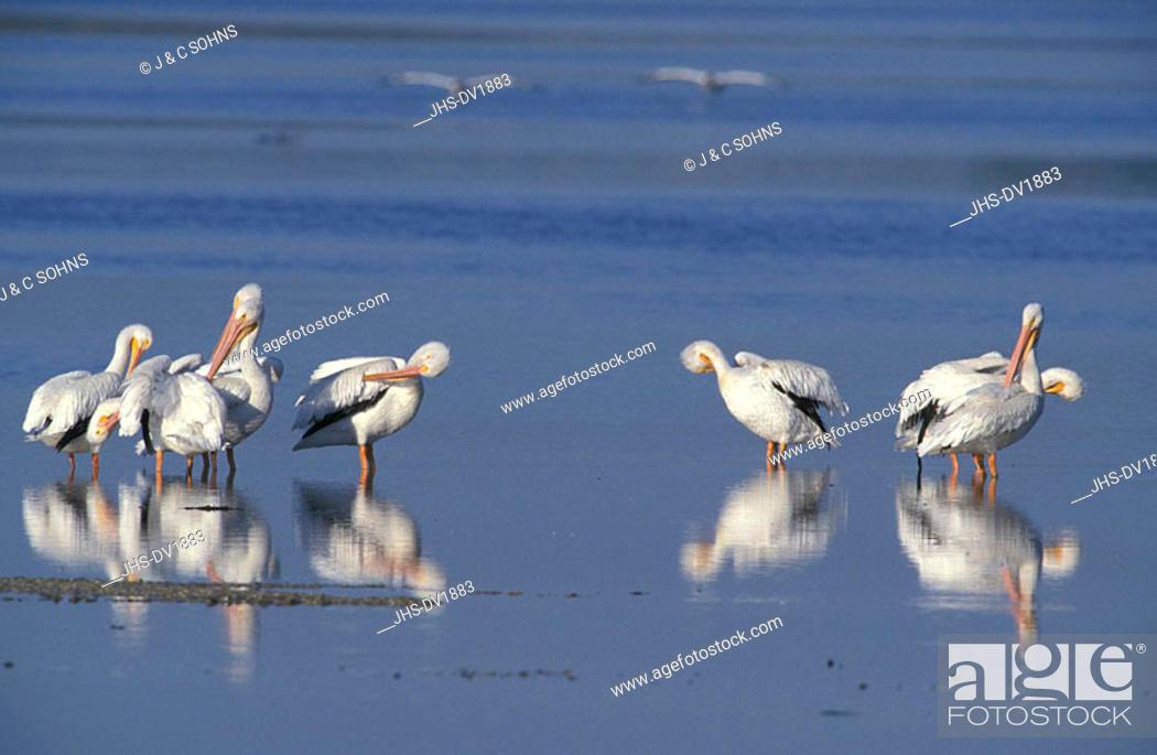 Stock Photo: American White Pelican Pelecanus erythrorhynchos Ding Darling Reserve Sanibel Island Florida USA.
