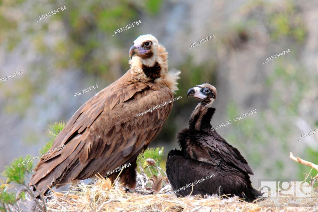 Imagen: Cinereous vultures (Aegypius monachus). Serra de Tramuntana, Mallorca, Balearic Islands, Spain.