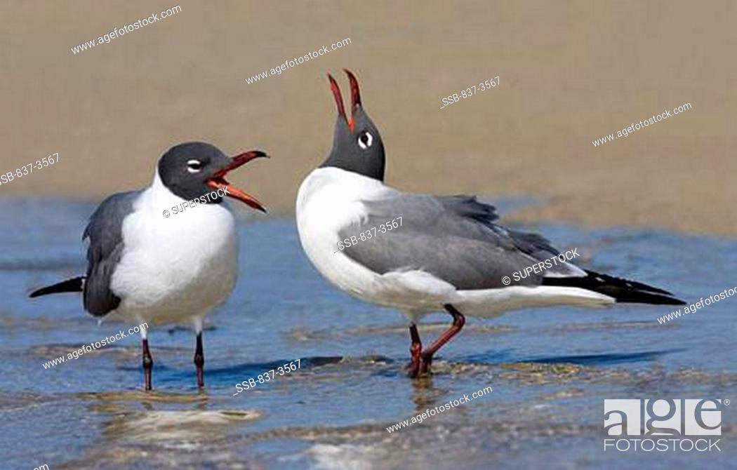 Stock Photo: Pair of Laughing gulls Larus atricilla calling.