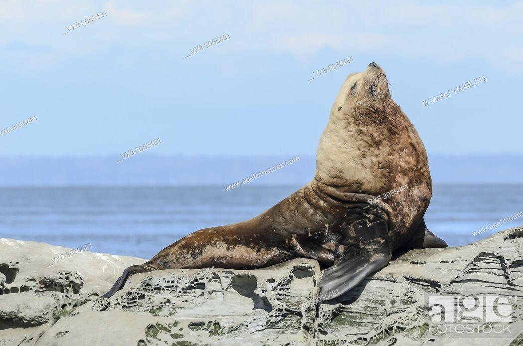 Stock Photo: Steller Sea Lion, Eumetopias jubatus, Salish Sea, British Columbia, Canada, Pacific.