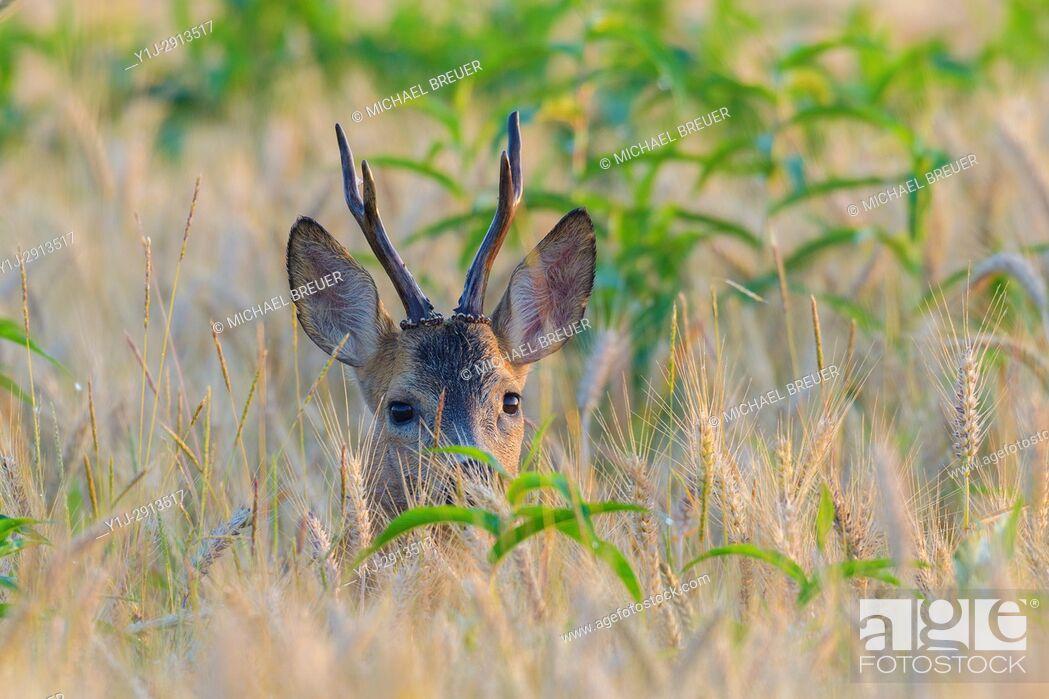 Stock Photo: Western Roe Deer (Capreolus capreolus), Roebuck, Hesse, Germany, Europe.