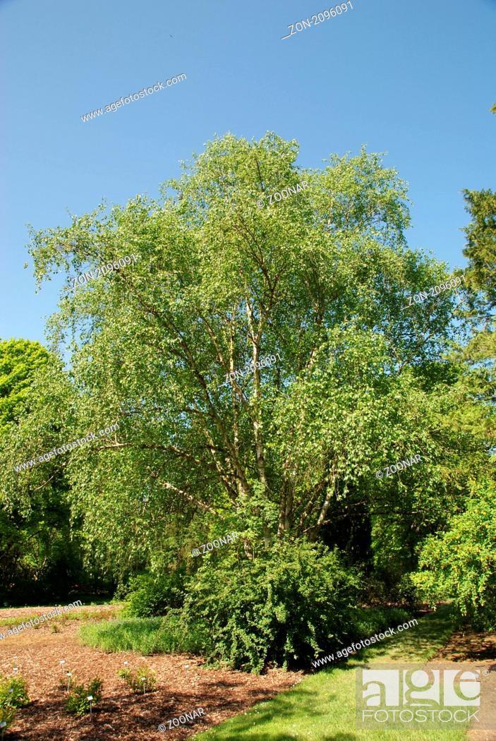 Himalaya Birke betula utilis himalaya birke himalayan birch stock photo picture