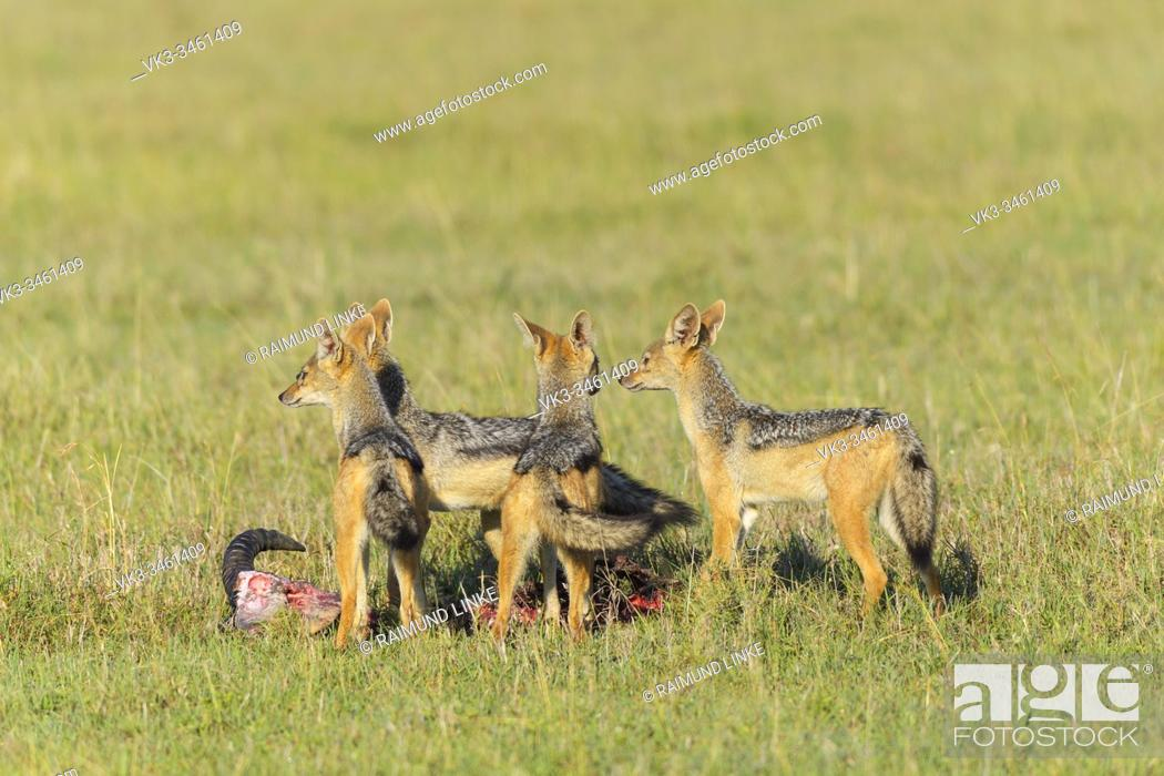 Imagen: Black-backed Jackal, Canis mesomelas, group on kill, Masai Mara National Reserve, Kenya, Africa.