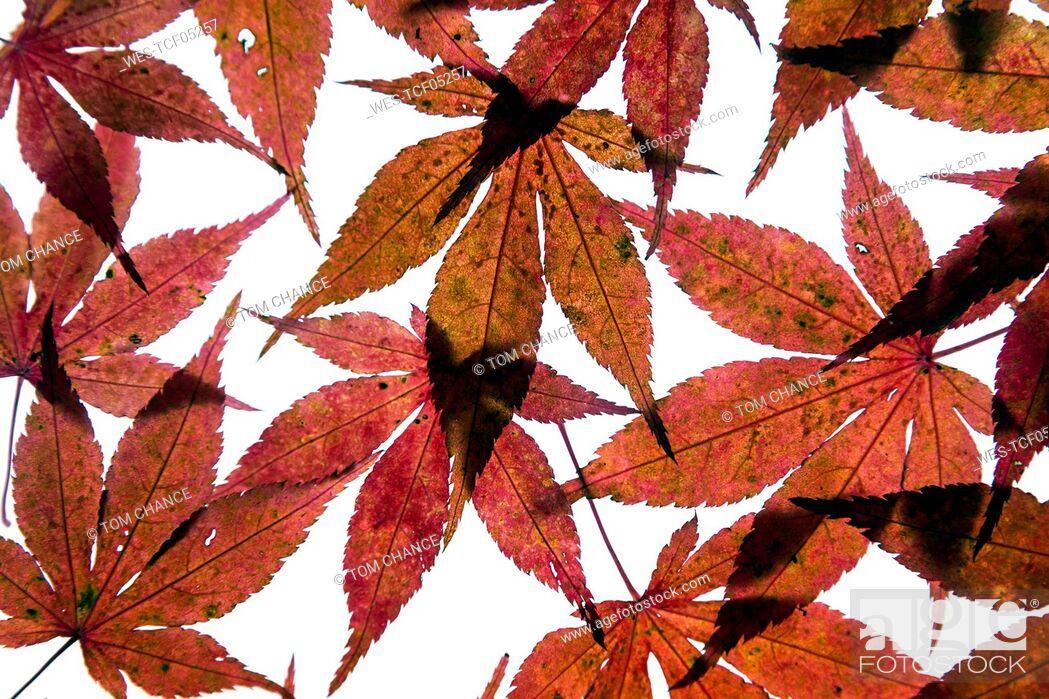Imagen: Autumn leaves of Japanese Maple on white ground.