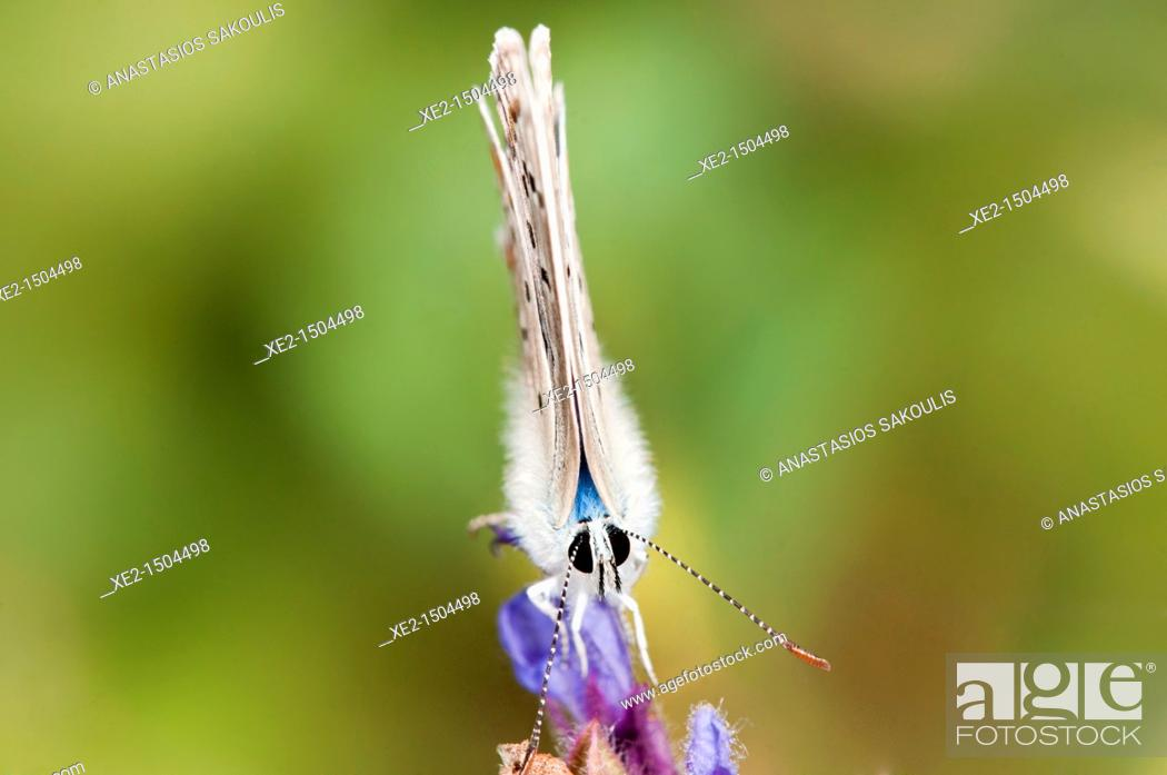 Stock Photo: Turquoise blue - Plebicula dorylas, Grammos mt , NW Greece.