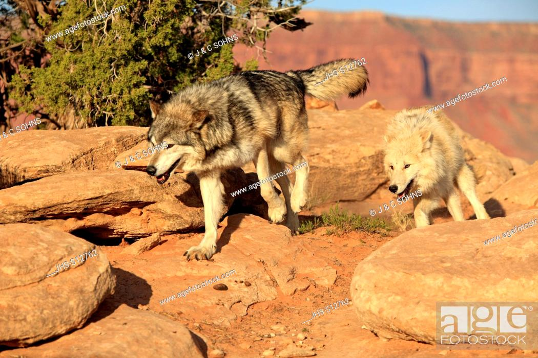 Stock Photo: Gray Wolf, Timber Wolf, Canis lupus, Monument Valley, Utah, USA, North America, adult couple running.