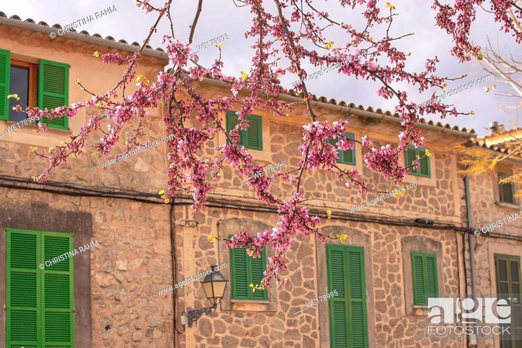 Stock Photo: Beautiful blossoming tree in pink against old traditional stone house with green window shutters in Valldemossa, Majorca, Spain.