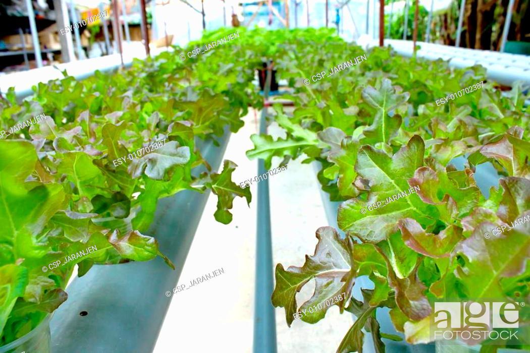 Stock Photo: Organic lettuce.