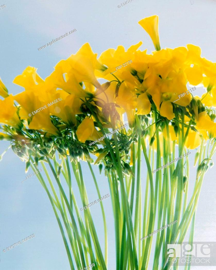 Stock Photo: Yellow clover.