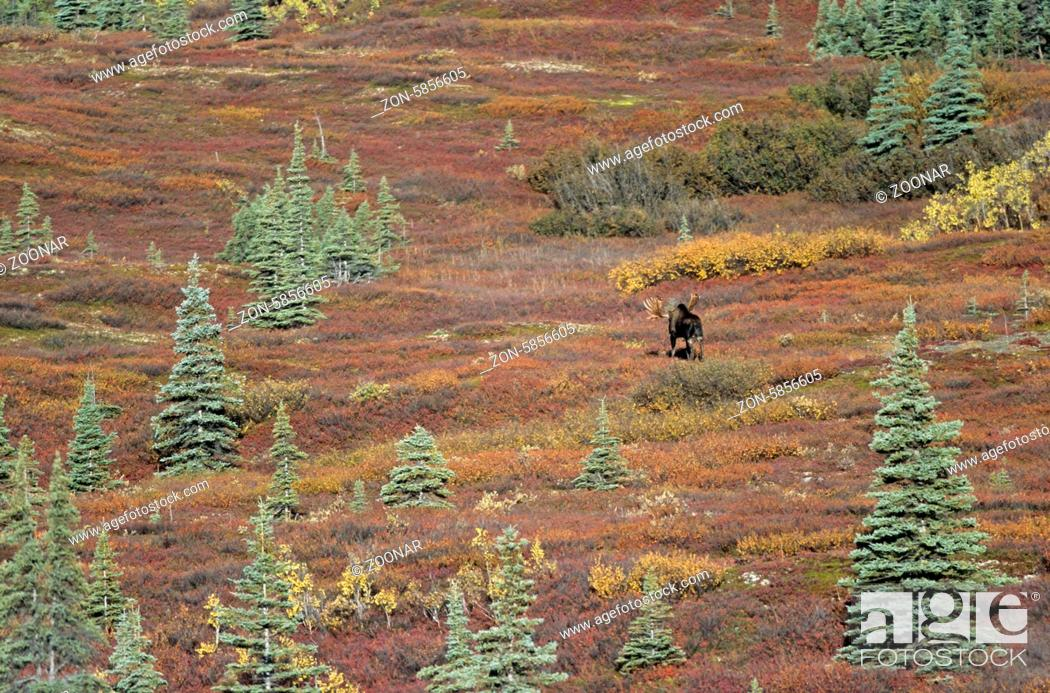 Stock Photo: Elchschaufler wandert in der Tundra - (Alaska-Elch) / Bull Moose wandering in the tundra - (Alaska Moose) / Alces alces - Alces alces (gigas).
