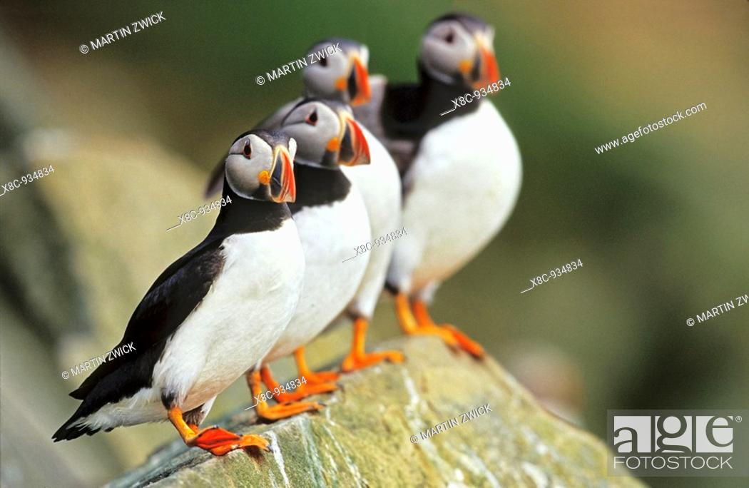Stock Photo: Atlantic Puffin Fratercula arctica on rock, four birds standing in a row, Foula  Europe, Great Britain, Scotland, Shetland Islands, Foula, May 1999.