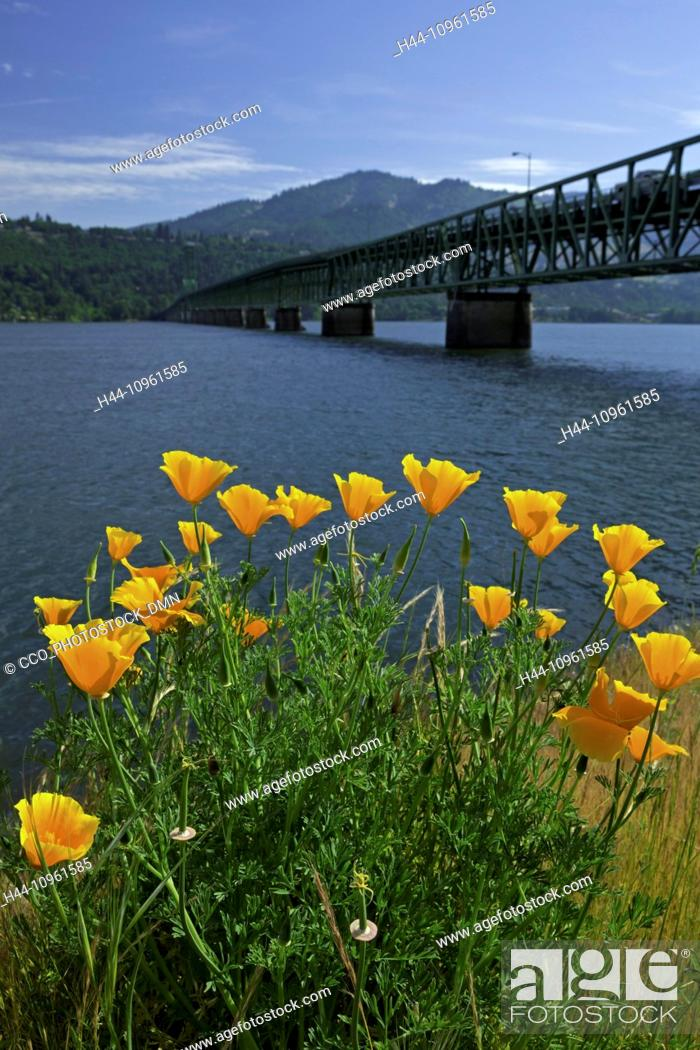 Stock Photo: Poppy, Eschscholzia californica, summer, summertime, Columbia River Gorge, Mosier, Oregon, OR, USA, America, United States, National Scenic Area, flowers.