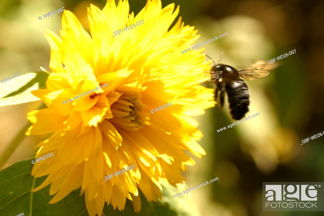 Stock Photo: Flowers, chrysanthemum, nature.