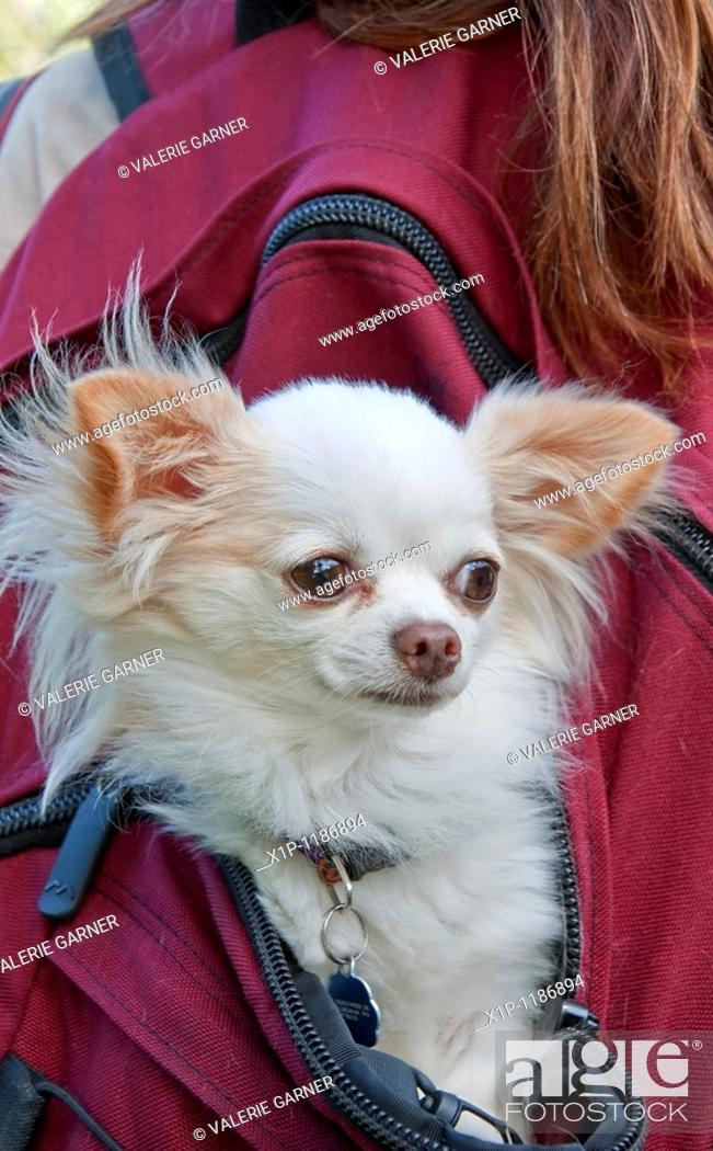 Stock Photo: This cute long haired white Chihuahua dog is riding in the back of a girl's burgundy colored backback Very cute pet stock image.