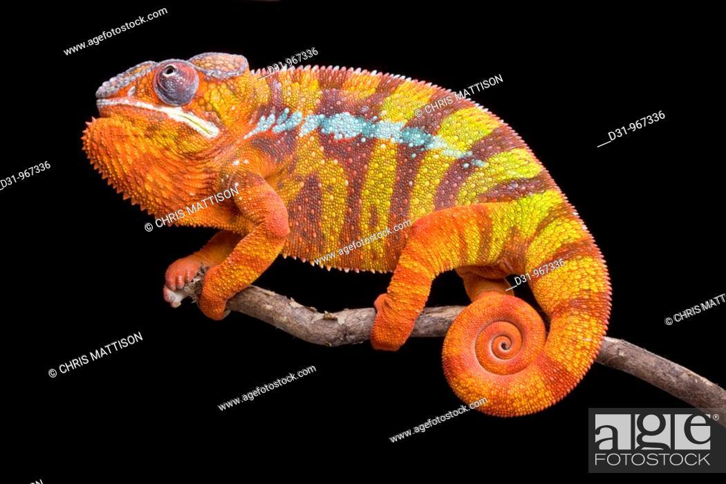 Stock Photo: Panther Chameleon, Furcifer pardalis, Ambilobe, Madagascar.