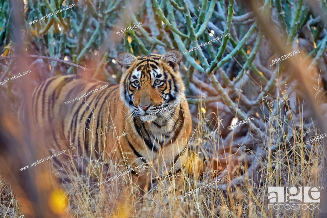 Photo de stock: Asia, India, Rajasthan, Ranthambore National Park, Bengal tiger (Panthera tigris tigris), young one year old.