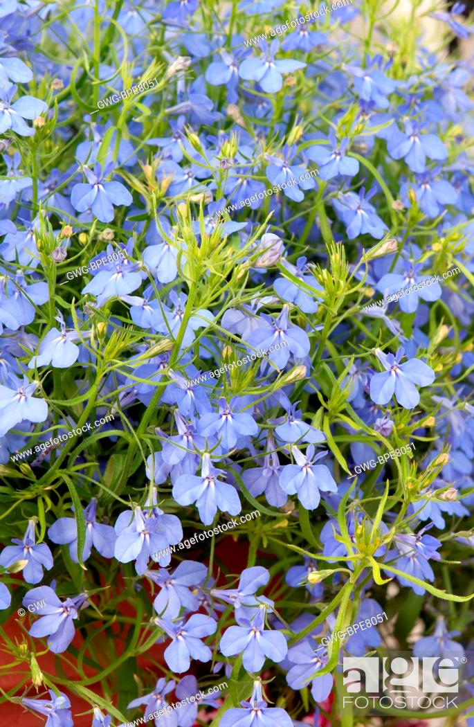 Lobelia Erinus Techno Heat Electric Blue Stock Photo Picture And