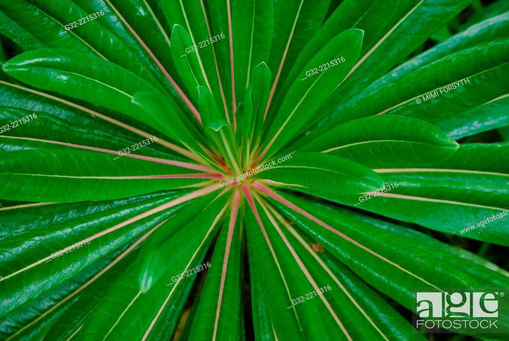 Imagen: O-Hama-Gikyo (Lobelia boninensis), native to Ogasawara islands, Japan. Photographed n Hawai'i.