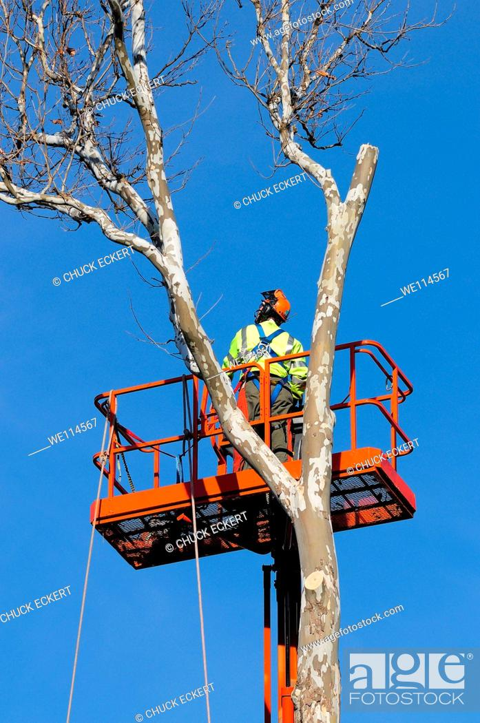 Photo de stock: Tree service worker meticulously cutting down sycamore tree.