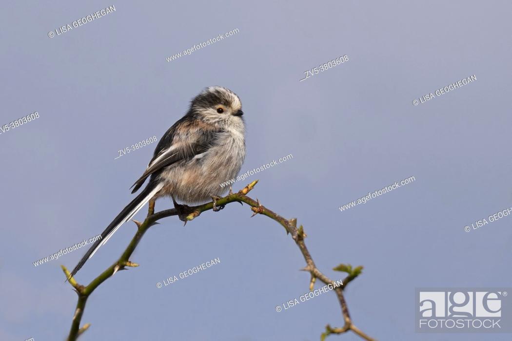 Stock Photo: Long-tailed tit-Aegithalos caudatus perches on brambles.