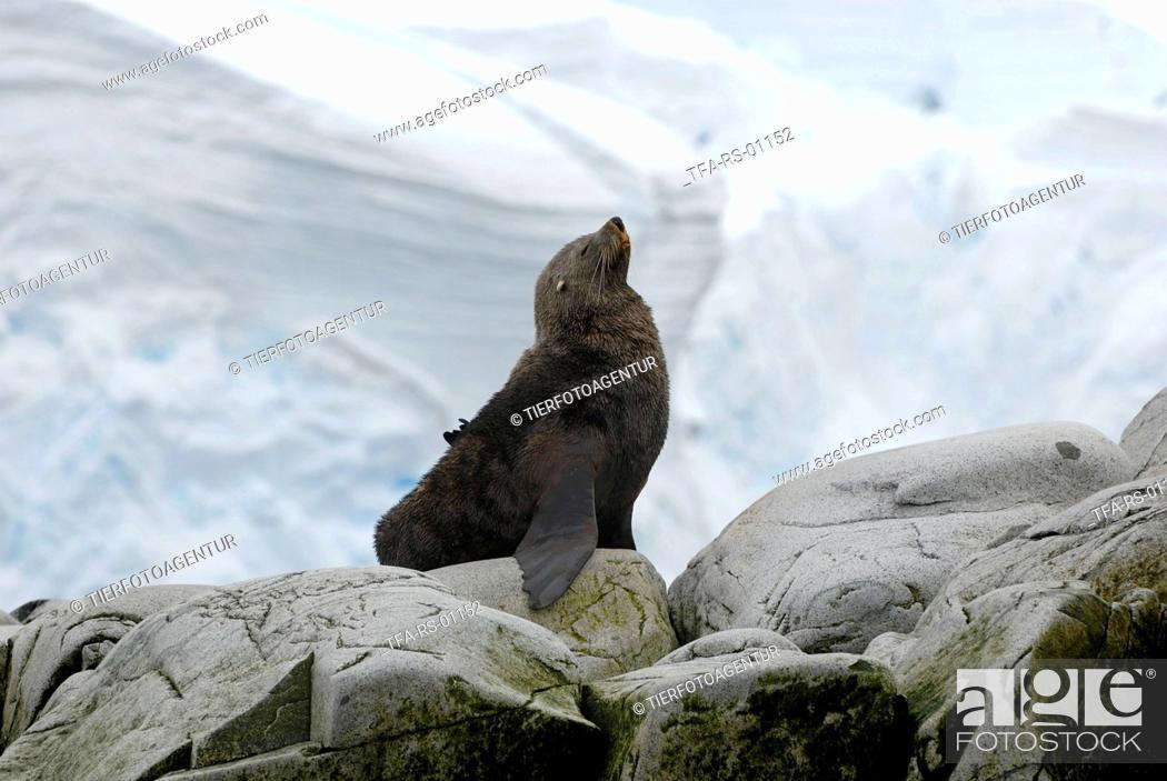 Imagen: Antarctic fur seal.