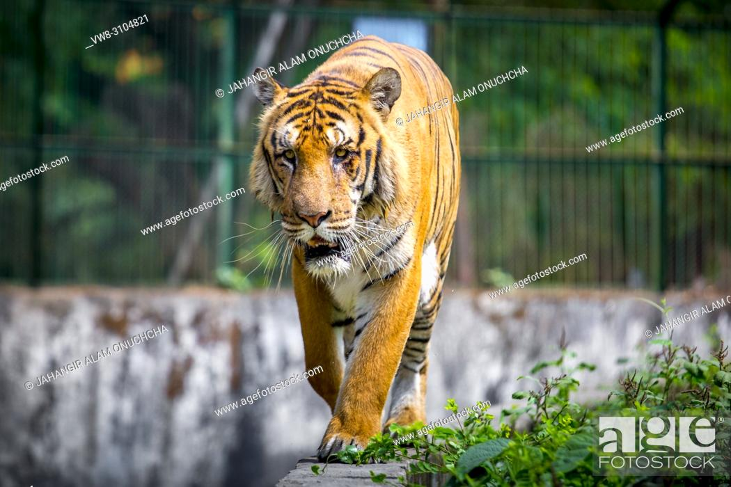 Stock Photo: The Royal Bengal Tiger is the native animal of Bangladesh and it lives in Sundarbans, are in the east of Bangladesh. Dhaka Zoo is a Zoo located in the Mirpur.