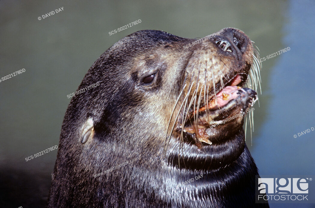 Stock Photo: Head of snotty nosed bull Galapagos sea lion Zalophus californianus wollbaeki Punta Espinosa, Fernandina Island, Galapagos, Ecuador.