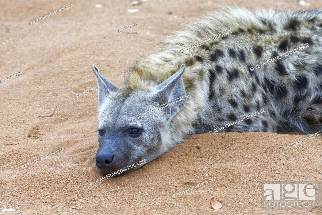 Stock Photo: Spotted hyena (Crocuta crocuta), adult male lying on sand, half asleep, early in the morning, Kruger National Park, South Africa, Africa.