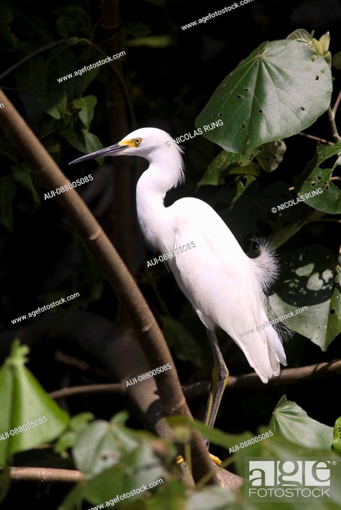 Stock Photo: Great egret - Tortuguero.