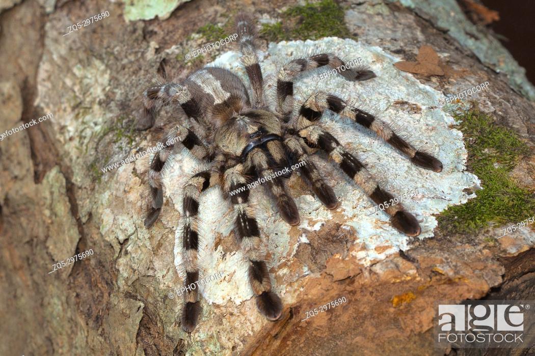 Stock Photo: Arboreal tarantula, Poecilotheria tigrinawesseli. Eastern Ghats, India.