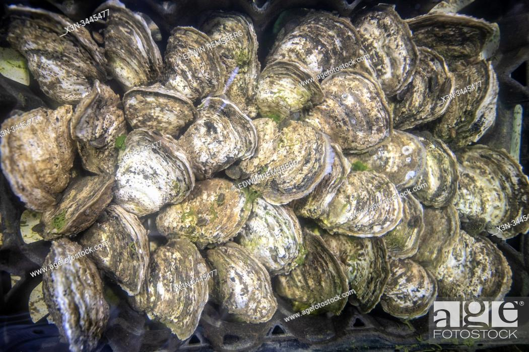 Stock Photo: Farm raised oysters being grown , Tall Timbers, Maryland, USA.