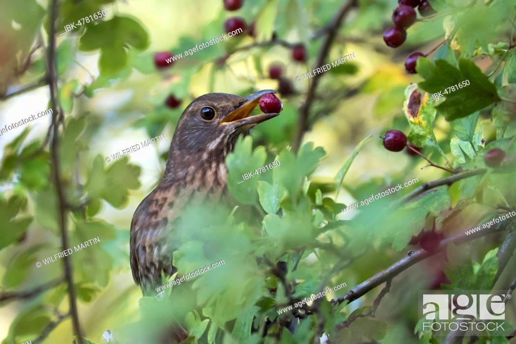 Stock Photo: Song thrush (Turdus philomelos) with berry in beak, Common hawthorn (Crataegus monogyna), Hesse, Germany.