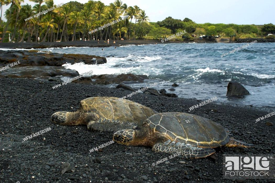 Stock Photo: Green sea turtles resting on shore, Chelonia mydas, Black Sand Beach, Big Island, Hawaii, USA.