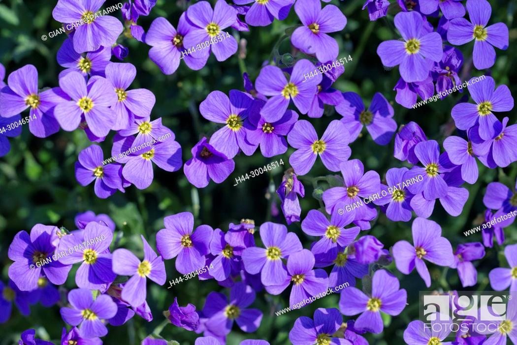 Stock Photo: Flowers of Lobelia.