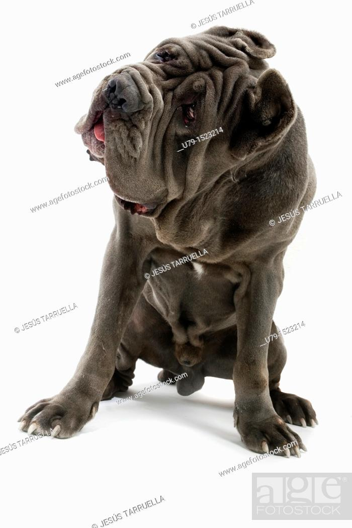 Stock Photo: Neapolitan Mastiff portrait sitting.