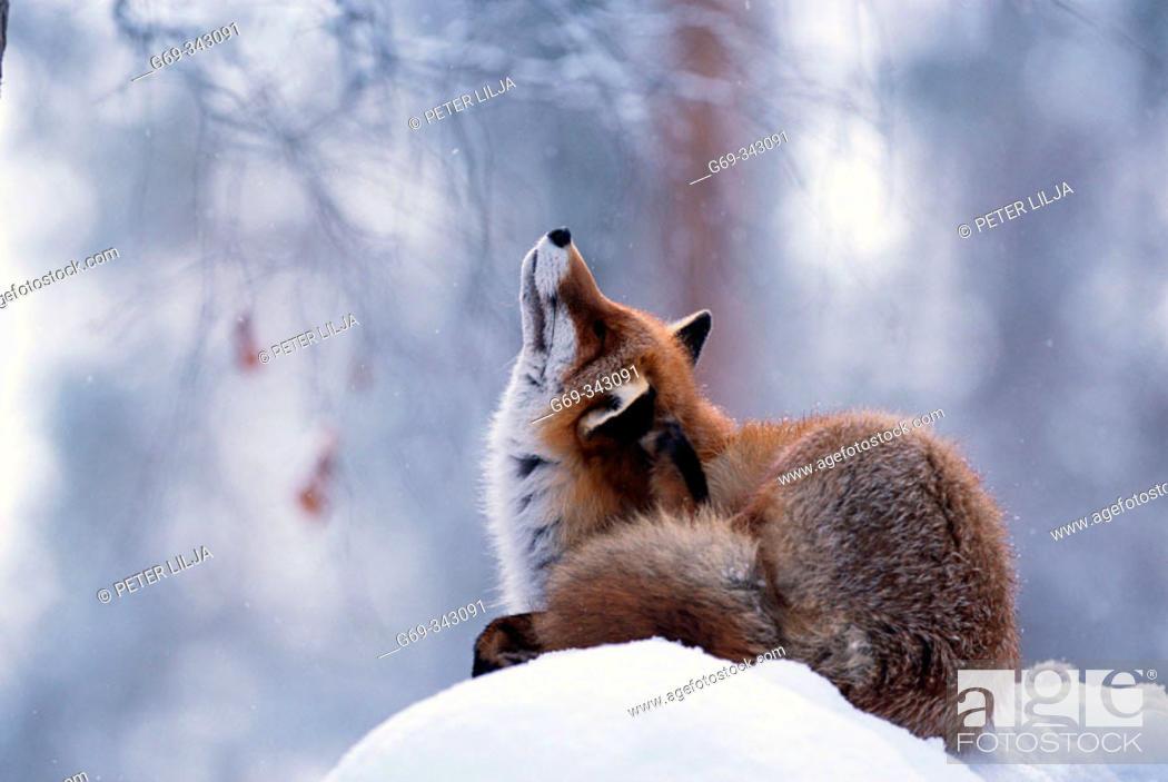 Stock Photo: Red Fox (Vulpes vulpes). Lycksele, Västerbotten, Sweden.