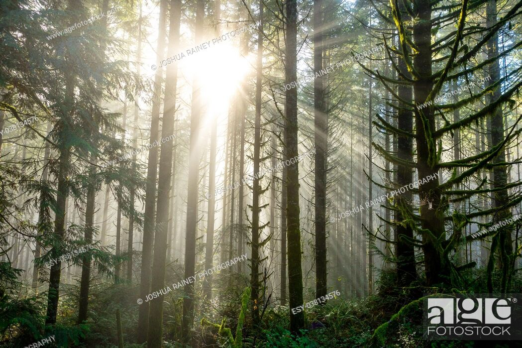 Imagen: Sun bursts through tall fir trees in a dense forest in Oregon. Rays of light come down from the heavens in an epic landscape image.