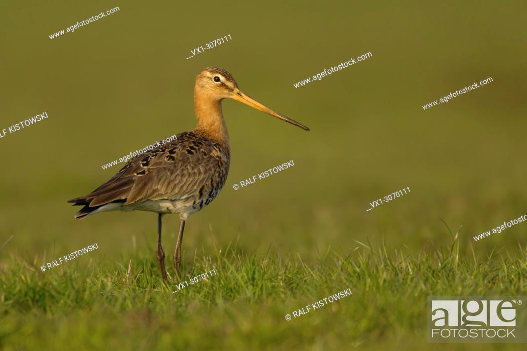 Stock Photo: Adult Black-tailed Godwit ( Limosa limosa ) in breeding dress stands in high grass of a wet meadow, golden light, wildlife, Europe.