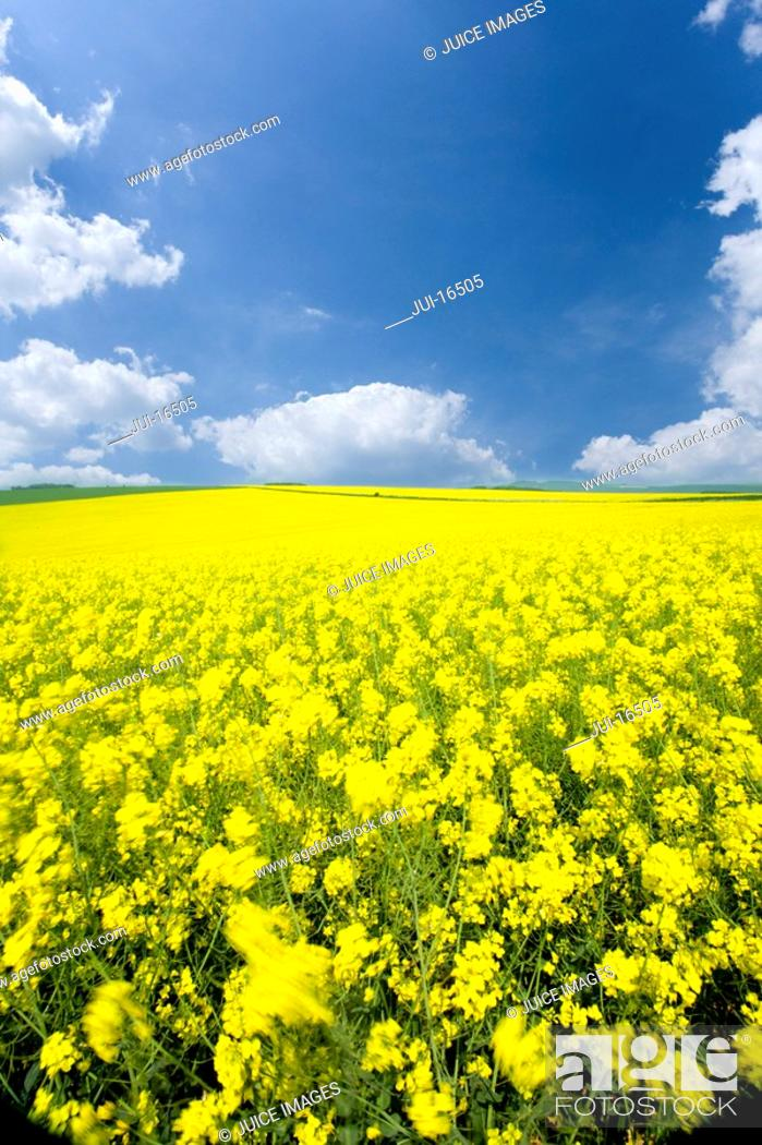Stock Photo: Field of canola and cloudy sky.