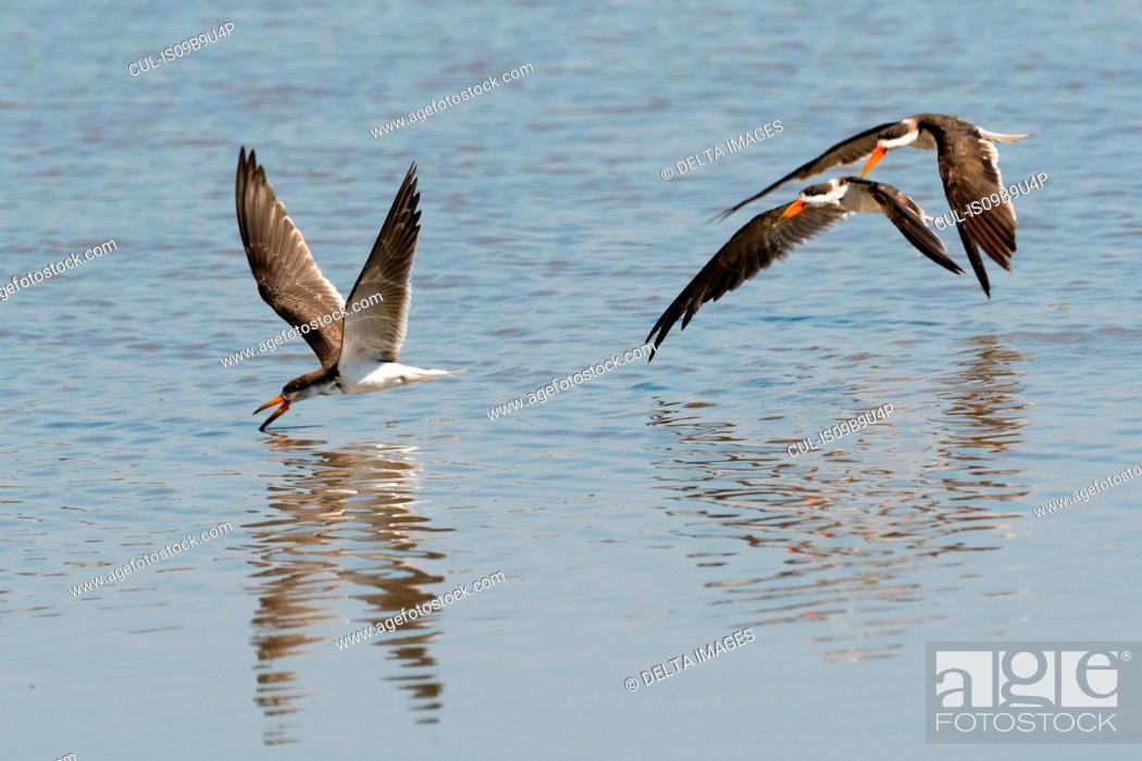 Stock Photo: African skimmers (Rynchops flavirostris) flying above river, Moremi Game Reserve, Okavango Delta, Botswana.