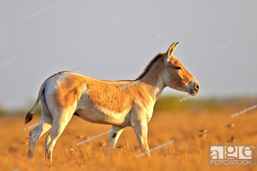 Stock Photo - India,Gujarat,Little Rann of Kutch,Wild Ass Sanctuary,Indian  wild asses (Equus hemionus khur) ,Khur.