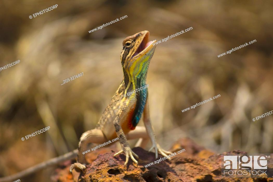 Imagen: Fan Throated Lizard, Sitana ponticeriana, Close-up, Satara, Maharashtra, India.