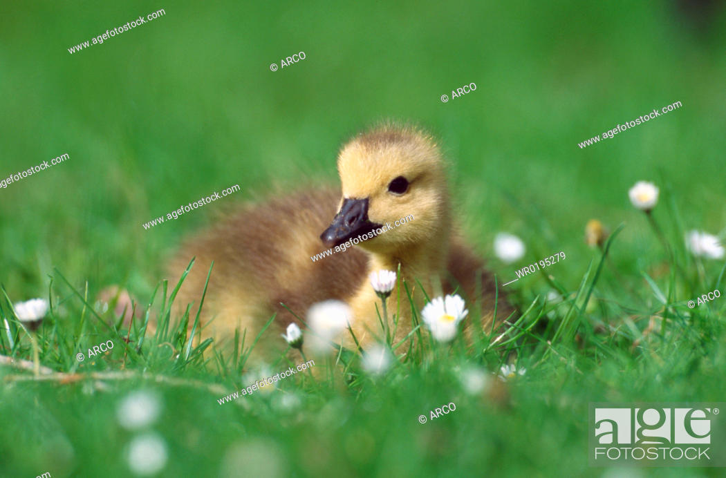 Stock Photo: Canada, Goose,.